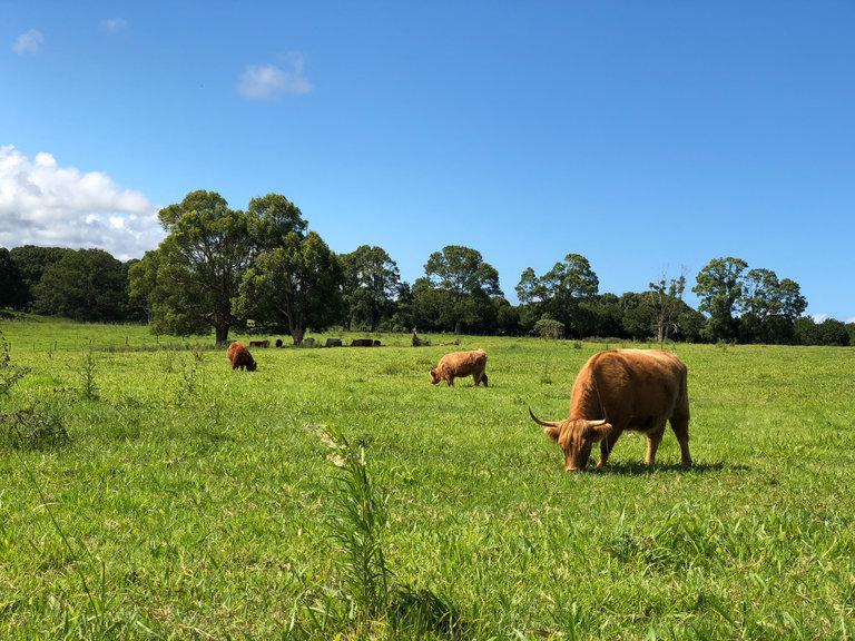 cows at the farm
