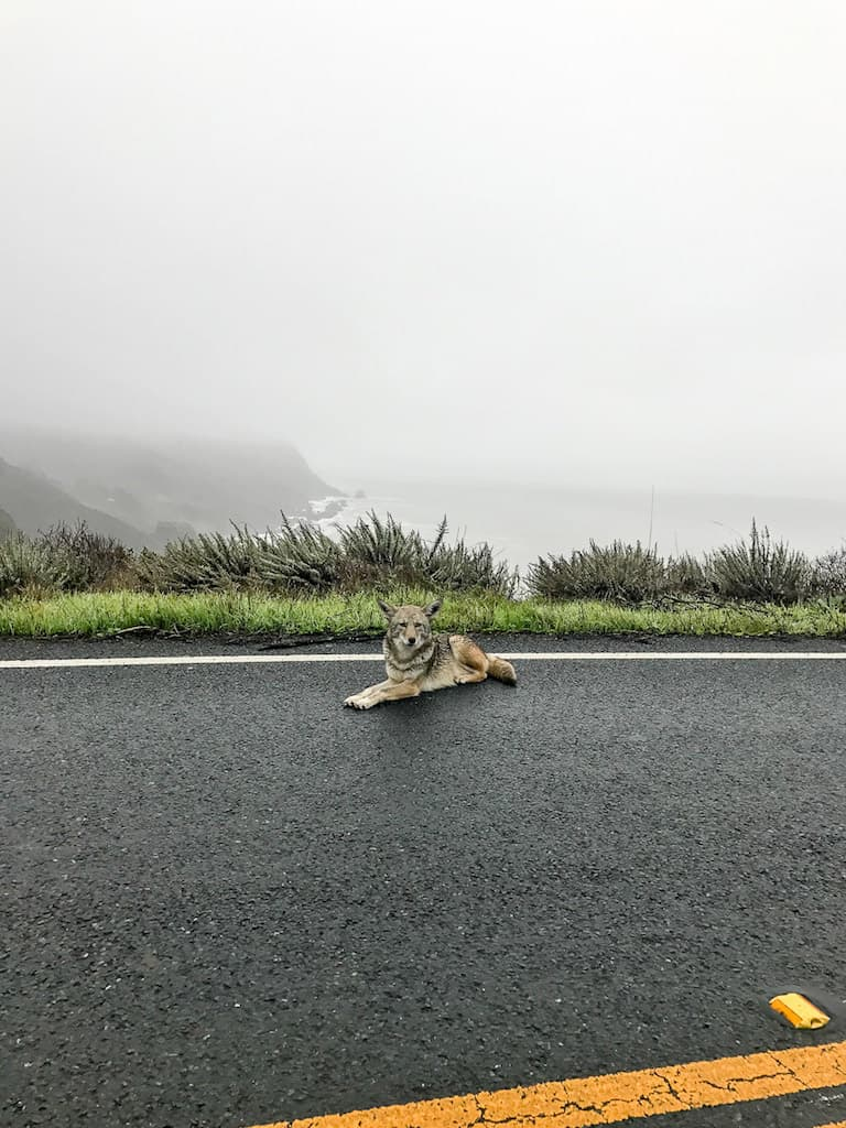 coyote on highway 1 en route to bolinas