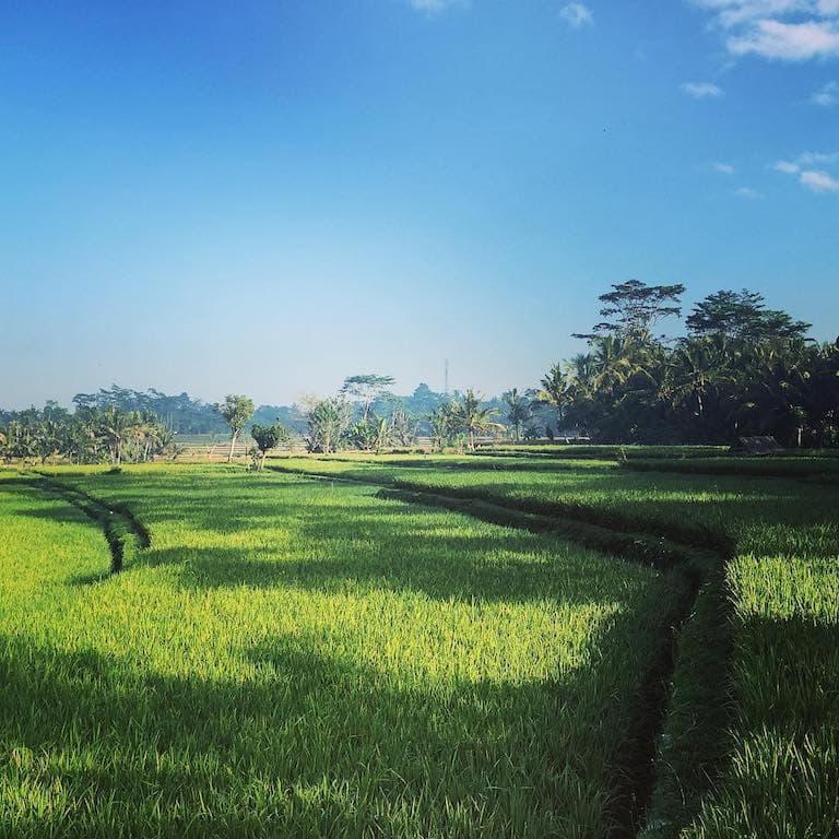 ubud rice paddie photo